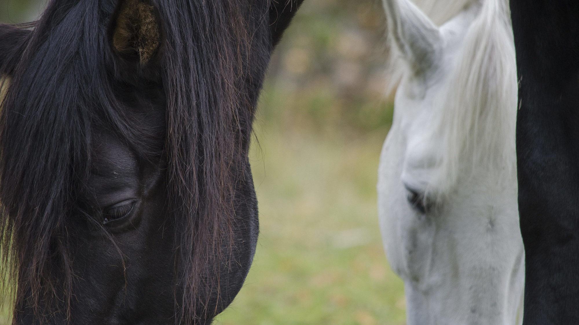Kaksi hevosta © Kinttu Koipijärvi